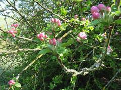 Blossom along the Loddon (April 2019) (karenblakeman) Tags: readinggreendrinkswalk loddon berkshire uk april 2019 blossom tree