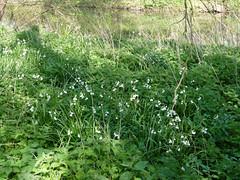 Loddon Lilies April 2019 (1) (karenblakeman) Tags: readinggreendrinkswalk loddon river berkshire uk april 2019 loddonlily leucojumaestivum flowers