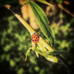 """[\] • """"Ladybird, ladybird fly away home / Your house is on fire and your children are gone / Ladybird, ladybird get on with your task / Social services have some grave questions to ask"""" • #nature #tenburywells #nash #shropshire #sinisternurseryrhymes #nur (daveoleary) Tags: • """"ladybird ladybird fly away home your house is fire children gone get with task social services have some grave questions ask"""" nature tenburywells nash shropshire sinisternurseryrhymes nurseryrhymes branch leaf diagonal holiday easter latergram diagonalley cornertocorner green sunny outdoors naturenotes"""