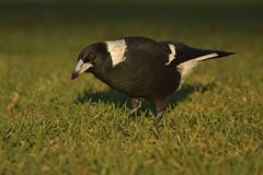 Australian Magpie (Luke6876) Tags: australianmagpie magpie butcherbird bird animal wildlife australianwildlife