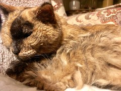 Chyna Cat (Scorpiol13) Tags: love pet indoors domestic animal armchair resting relaxing whiskers fur fluffy brown feline seniorcat elderlycat cat