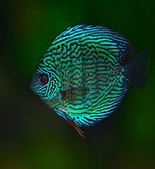 Turquoise discus 3 (Bojan Žavcer) Tags: turquoise discus aquarium fish macro sony ilce7r