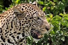 Happy Caturday! (AnyMotion) Tags: africanleopard pantheraparduspardus leopard portrait porträt cat cats katzen katze 2018 anymotion tarangirenationalpark tanzania tansania africa afrika travel reisen animal animals tiere nature natur wildlife 7d2 canoneos7dmarkii ngc npc