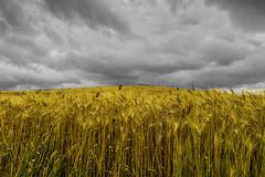 Lo scultore invisibile / The invisible sculptor (Eugenio GV Costa) Tags: approvato campagna nuvole cielo countryside clouds sky outside balle fieno bales hay grano wheat oro luce gold light