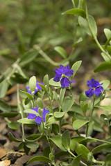 Dampiera (louisa_catlover) Tags: maranoagardens plant flower nature bokeh dof australian native outdoor purple dampiera goodeniaceae