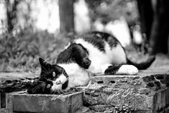 Mesmerising (Erman Peremeci) Tags: sonyalpha touit32mm cat animals bw istanbul cats emount blackandwhite sonya6500 touit1832