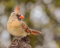 Cardinal rouge/Northern cardinal (jean-francoislavallée) Tags: oiseau bird aves cardinalrouge northerncardinal quebec canada nature wildlife nikon sigma