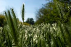 MAG_3858 (emme_ro) Tags: natura nature natural nikon nikond7200 grain grano verde green