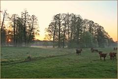 Cows in the Fog - The Sequel (der bischheimer) Tags: morgennebel morgens morning sonnenaufgang sunrise spreewald raddusch lausitz canon derbischheimer