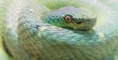 Watching. (deanhebert) Tags: snake reptile zoo san diego life eye green animal scales portrait