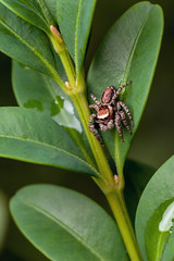 What's Down There? - _TNY_6320 (Calle Söderberg) Tags: macro canon canon5dmkii canoneos5dmarkii canonef100mmf28usmmacro canon5dmarkii 5d2 flash meike mk300 glassdiffusor raynox dcr250 arachnida araneae salticidae evarcha falcata brokhoppspindel hoppspindel spindel spider jumpingspider jumper saltie springspinne lookingdown hair hairy fuzz fuzzy fur furry brown beige leaf leaves f19 reddishbrown spinne araneomorphae
