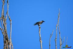 A-LUR_5881 (OrNeSsInA) Tags: aly passignano panicale natura panorami campagma campagna landescape trasimeno nikon canon airone airon cormorano spettacolo birdwatching albero cielo animale mare acqua uccello