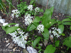 April 24th, 2019 Ramsons (karenblakeman) Tags: cavershamgarden caversham uk ramsons wildgarlic food flowers 2019 2019pad april reading berkshire