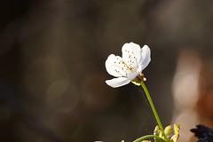 Blüte- Erdbeere (photohml) Tags: photograf erdbeere blüte pflanze obst frühling 2019 olympus mzuiko omd em5 40150 bokeh