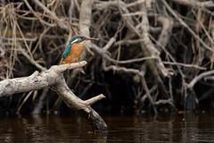 PILT3958 (ottmaasikas) Tags: jäälindalcedoatthiskingfisher kingfisher jäälind alcedo atthis