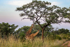 Kruger National Park (half21st) Tags: south africa kruger national park