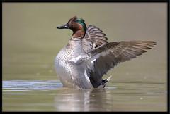 Green-winged Teal (Lee_Marcus) Tags: greenwingedteal teal anascarolinensis duck waterfowl waterbird dabblingduck