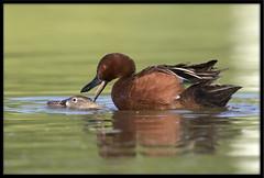 Cinnamon Teals Mating (Lee_Marcus) Tags: cinnamonteal teal anascyanoptera duck waterfowl waterbird dabblingduck mating