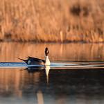 bird Northern pintail on Seedskadee NWR 78 thumbnail