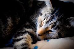 Qui dort dîne - He who sleeps forgets his hunger (Jean-Pierre Bérubé) Tags: adage flickrfriday jpdu12 jeanpierrebérubé chat cat sommeil sleep nikon d5300
