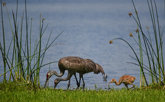 Following Mom & Dad (ap0013) Tags: sandhillcrane baby family nature animal wildlife crane sandhill myakka river state park statepark sarasota florida sarasotaflorida