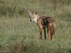 African Golden Wolf Canis anthus (nik.borrow) Tags: mammal wolf canid ngorongoro