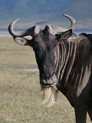 Serengeti White-bearded Wildebeest connochaetes [taurinus] mearnsi (nik.borrow) Tags: mammal wildebeest gnu bovine ngorongoro