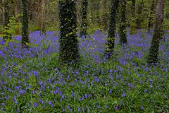 Bluebell wood. (carolinejohnston2) Tags: flowers woods trees trunks wildflowers blue colours outdoors nature natural springtime fermanagh ireland spring ivy treetrunks woodland landscape