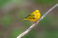 Yellow Warbler (Setophaga petechia), Williamson County, Tennessee (kmalone98) Tags: yellowwarbler newworldwarblers wildlife dendroicapetechiaamericanyellowwarbler parulidae aves