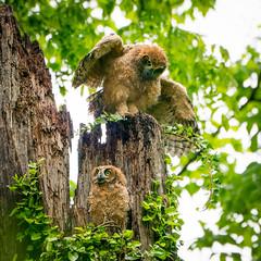 Great Horned Owls April 2019 (GM and MB) Tags: owl owlbaby raptor eliteraptors horned greathornedowl arlington bird nature prey nest