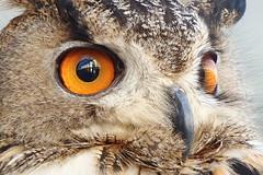 853 (bluefootedbooby) Tags: animali uccelli rapaci gufo animals birds owl
