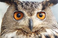 851 (bluefootedbooby) Tags: animali uccelli rapaci gufo animals birds owl