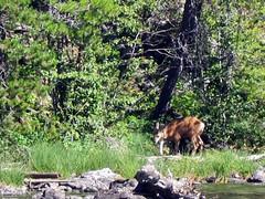 String Lake Trail (pr0digie) Tags: grandteton nationalpark hike hiking trail stringlake leighlake lake mountain mountains deer