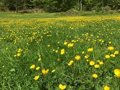 Buttercups in Rock Creek Park (Mr.TinDC) Tags: popville dcist grass buttercups dc washingtondc rockcreekpark spring