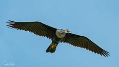 Anhinga (EXPLORE) (www.sophiethibault.ca) Tags: oiseaux faune usa avril floride greencaywetlands 2019 nature anhinga bird wildlife florida wetlands