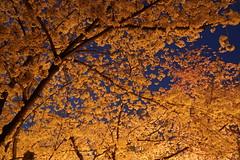 Golden gloomy_vol01 (hitsujida) Tags: canon g7xmkii ordinary everyday city town flower koyo 街 日常 京都 花