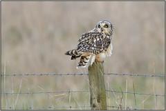 Short-eared Owl (image 1 of 3) (Full Moon Images) Tags: wicken fen burwell nt national trust wildlife nature reserve cambridgeshire bird birdofprey shorteared owl