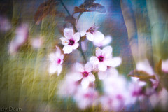 Blossom in the forest (judy dean) Tags: judydean 2019 lensbaby textures ps blossom cherry overlay trees sliderssunday
