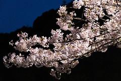Cherry blossoms at night (yukky89_yamashita) Tags: 京都市 山科 山科疏水公園 kyoto canal park sakura cherryblossoms night japan