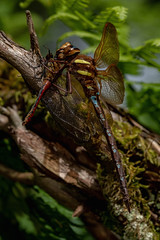 One dragonfly eats the other (Christian Kjær 61) Tags: meadow predation brownhawker ruddydarter sympetrumsanguineum aeshnagrandis