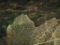 Leaf skeleton (lou_wag) Tags: winter nature organic natural decomposition tree deciduous woodland latticepattern skeleton leaf