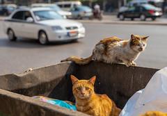 Cairo Street Cats