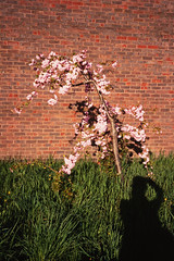 20190428-IMGP1876 (fleetingphotons) Tags: olympusstylusepic mjuii fujivelvia100 slidefilm e6 camerascan blossom readinggaol shadow me