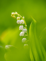 Lilly in Green (Gijs Peijs) Tags: spring netherlands nature flower outdoor lelie bloem lelietjevandalen macro flora lente green lilyofthevalley closeup floral detail
