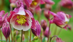 Akelei - Aquilegia caerulea (henkmulder887) Tags: akelei aquilegiacaerulea havelte bloem bloemen april