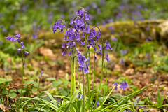 Clump (Sue_Hutton) Tags: april2019 burleighwoods loughborough spring ancientwoodland bluebells