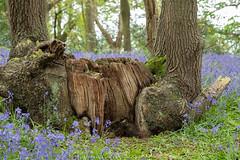 Textured Wood (Sue_Hutton) Tags: april2019 burleighwoods loughborough rforrural spring alphabetchallenge2019 ancientwoodland bluebells