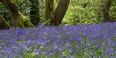 Ancient Woodland (10 of 35) (Sue_Hutton) Tags: april2019 burleighwoods loughborough spring ancientwoodland bluebells
