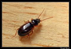 Trechus sp. (cquintin) Tags: arthropoda coleoptera carabidae trechus macroinsectes