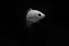 Fish talking2 (Franck gallery) Tags: fish poisson aquarium blackwhite noirblanc d90 dark sombre eye oeil